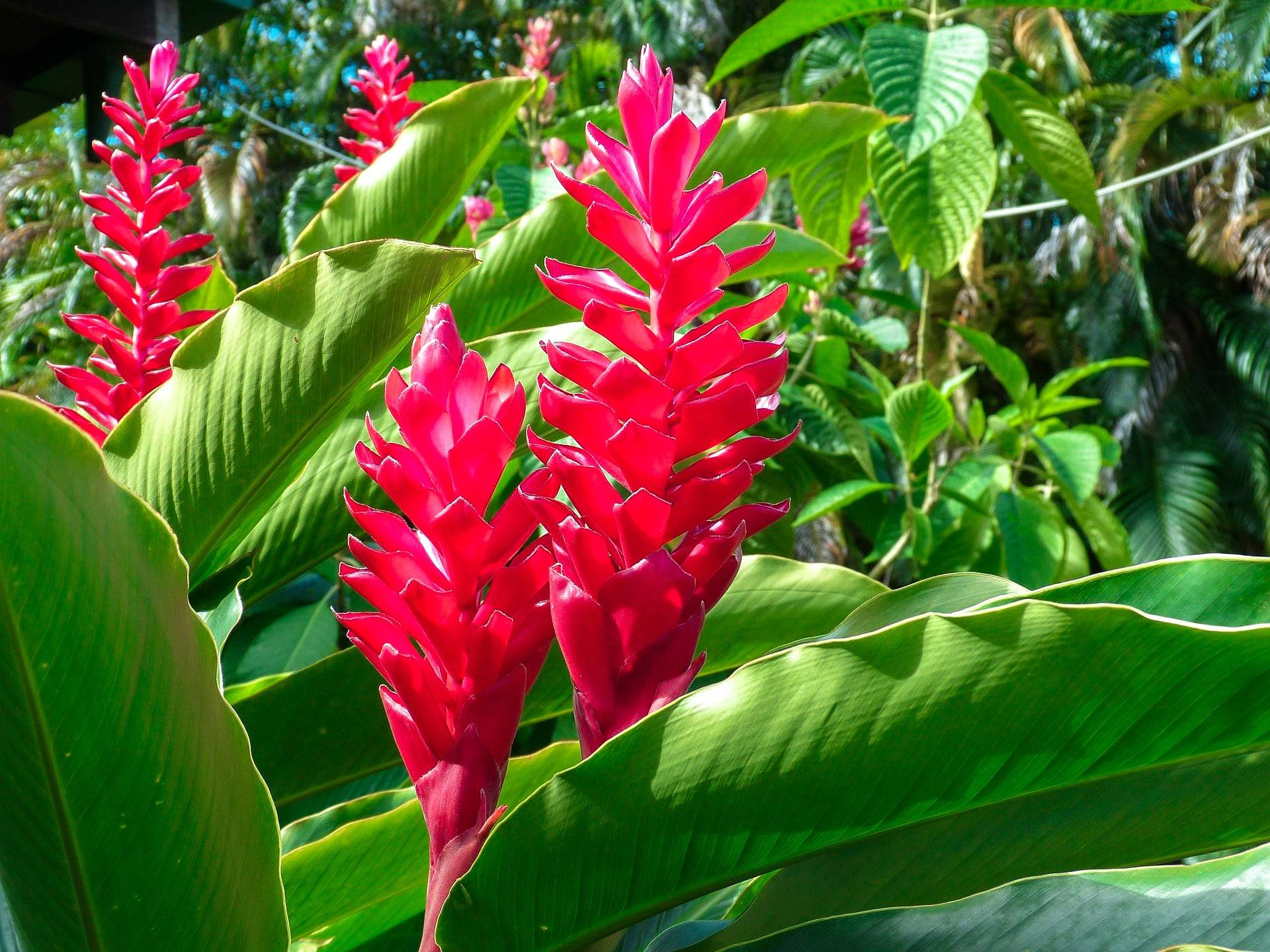 ornamental red ginger plant Costa Rica