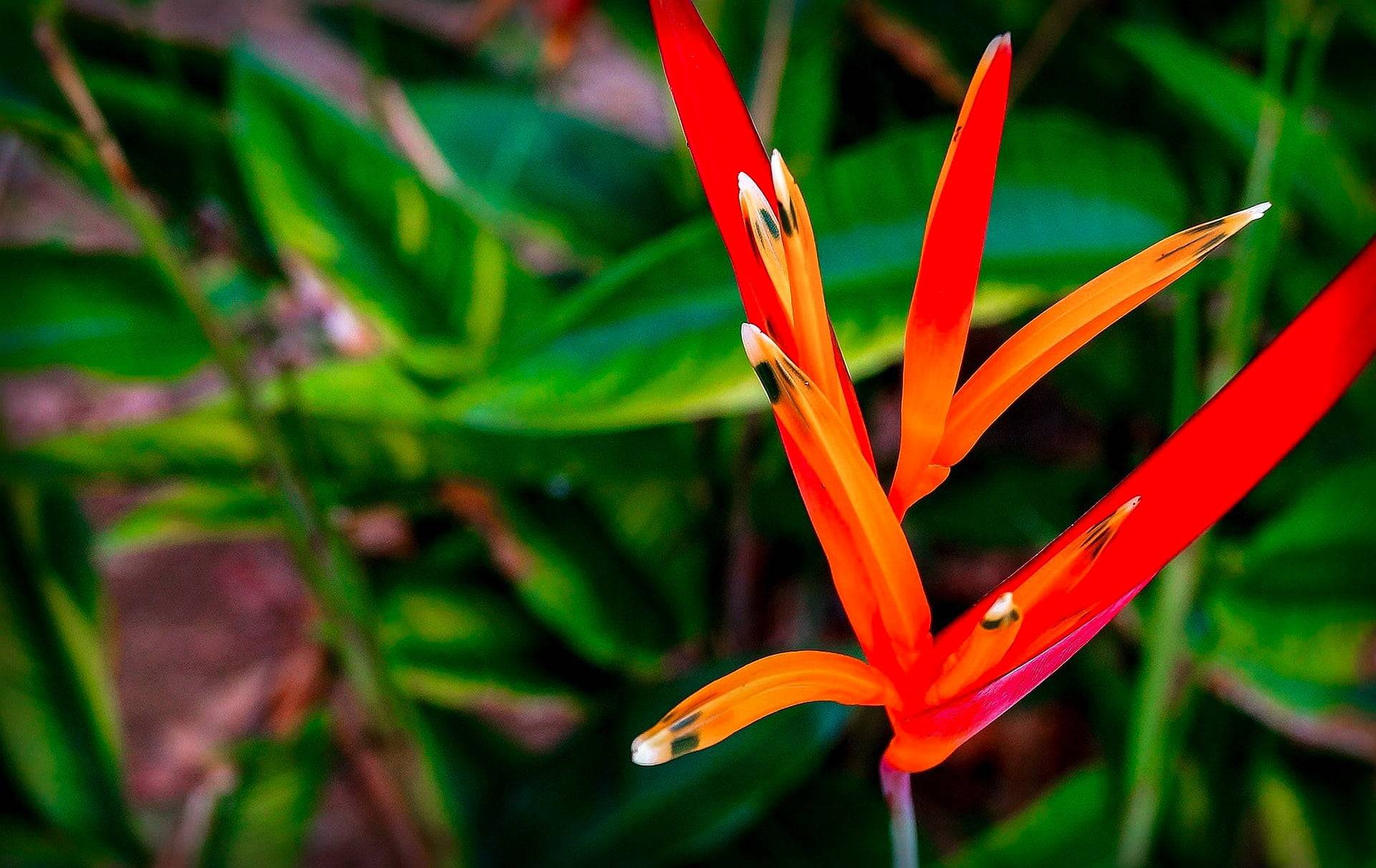 parrot heliconia in Costa Rica gardening